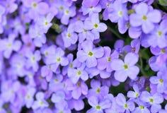 Beautiful purple rock flowers blooming royalty free stock photos