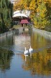 Close beautiful swan swimming in the lake stock photography