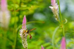 Close of bee on cockscomb flowers on natural green backgrounds stock photo