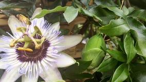 close Blomma för passionfrukt bland den gröna lövverket i sommar stock video