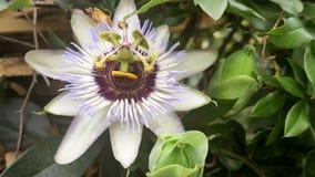 close Blomma för passionfrukt bland den gröna lövverket i sommar lager videofilmer