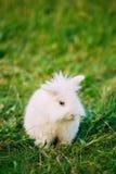 Close Blue Eyes Lop-Eared Dwarf Snow-White Mixed Breed Rabbit Bu Stock Photo