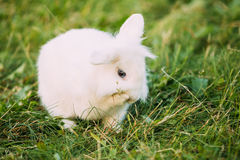 Close Blue Eyes Lop-Eared Dwarf Snow-White Mixed Breed Rabbit Bunny Royalty Free Stock Photography