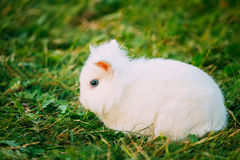 Close Blue Eyes Lop-Eared Dwarf Snow-White Mixed Breed Rabbit Stock Photo