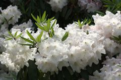 White Rhododendron blossom close up. A close of a branch covered in white Rhododendron blossom in the sunshine Stock Photography