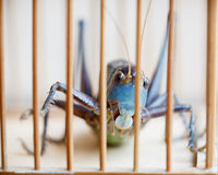 Close of a Caged Cricket Royalty Free Stock Images