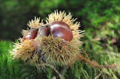 Close on chestnuts. In husk on the ground in forest Stock Image
