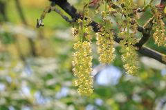 Linden Tree Seeds and Branches. Close on clusters of Linden tree seeds emerging during the springtime in southern Canada stock images