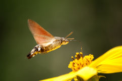 Close contact. A flying Moth and a yellow flower Royalty Free Stock Photos