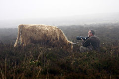 Close Cow Encounter. Highland cow posing in the eerie Exmoor mist for photographer Royalty Free Stock Images