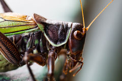 Close of a Cricket Royalty Free Stock Photography