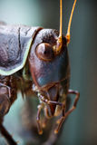 Close of a Crickets Head Stock Image