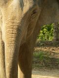 Close crop of asian elephant Royalty Free Stock Image
