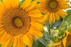 Close cropped image of two large sunflowers Royalty Free Stock Images