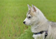Close on cute puppy husky Royalty Free Stock Image