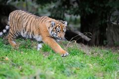 Portrait of a tiger cub Royalty Free Stock Photos