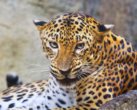 Close danger and angry face of leopard in wild Stock Images