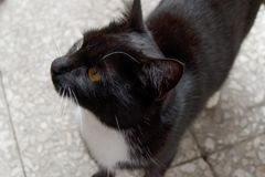 Detail of a curious black cat. A close detail of a curious black cat royalty free stock photography