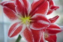 Red and white flower - Hippeastrum Royalty Free Stock Images