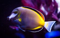 Close Detail of Powder Brown Tang, Acanthurus japonicus. Housed in a captive reef aquarium system royalty free stock photo