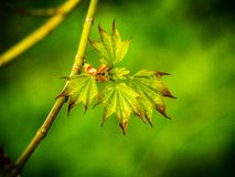 New spring leaves on branch within forest stock photo