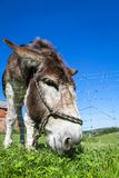 Close donkey portrait photographed with a wide-angle lens accentuating the head of the donkey close to the ground Stock Photo
