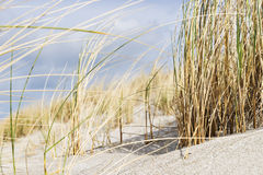Close dune grass on the Baltic Sea. Close shot of dune grass in sand on the coast of the Baltic Sea Royalty Free Stock Photos