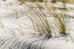 Close dune grass on the Baltic Sea. Close shot of dune grass in sand on the coast of the Baltic Sea Royalty Free Stock Photo