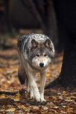 Close Encounter. Wolf approaching against a blurred autumn background Royalty Free Stock Photography