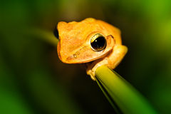 Close Encounter. A yellow frog is holding on tight on a reed stem Stock Images