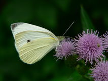 Close encounter. Butterfly Stock Images