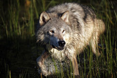 Close Encounter. Closeup of a Tundra Wolf running in water and making a splash Royalty Free Stock Photos