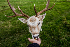 Close encounter with a deer Stock Photo