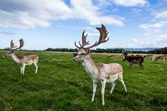 Close encounter with a deer Stock Photography