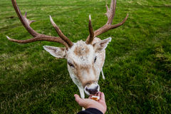 Close encounter with a deer Royalty Free Stock Images