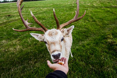 Close encounter with a deer Royalty Free Stock Image