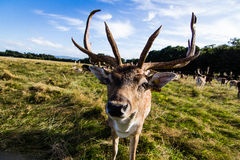 Close encounter with a deer Stock Images
