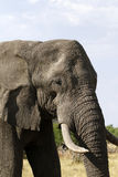 African Elephant Close Encounter II Stock Image