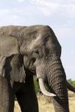 African Elephant Close Encounter II Stock Image