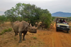 Close Encounter with Rhino on Safari Royalty Free Stock Photography