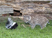Close encounter - skunk vs bobcat. Close encounter of a young skunk and a young bobcat.  Summer in Wisconsin Royalty Free Stock Photos