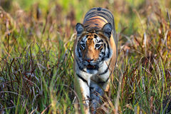 Close encounter with a Tiger. Tiger walking among tall grass in a wildlife park in India royalty free stock image