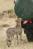 Close encounter with wild cheetah. Adult cheetah gnaw cover of spare wheel at safari vehicle with tourists, Masai Mara National Reserve, Kenya, East Africa Royalty Free Stock Photo
