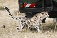 Close encounter with wild cheetah Stock Photography