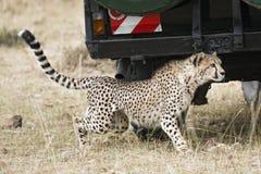 Close encounter with wild cheetah. Adult cheetah sneaking under safari vehicle with tourists, Masai Mara National Reserve, Kenya, East Africa Stock Photography