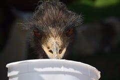 close enojado para arriba de la cara de la avestruz Foto de archivo