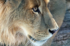 Close Enough To Touch. Closeup of a Lion looking off to the side Stock Photos