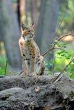 Eurasian Lynx in the forest Stock Image