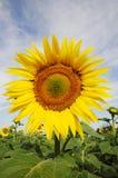 Close eye on sunflower Stock Photo