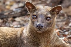 Malagasy Fossa royalty free stock images